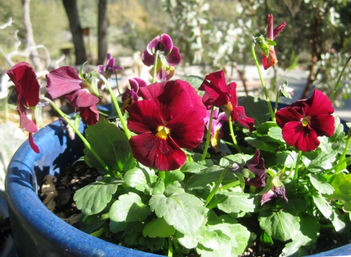 Viola 'Red Blotch'