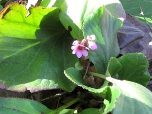 Winterblooming Bergenia blooming in February