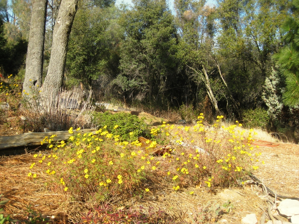 opper Canyon daisies, Tagetes lemmonii, the only real bright spot in the garden in January