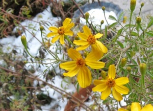 Copper Canyon daisy in November snow