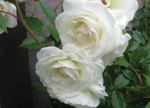 'Iceberg' Roses