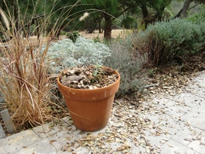 Mulched Mexican sage may make it