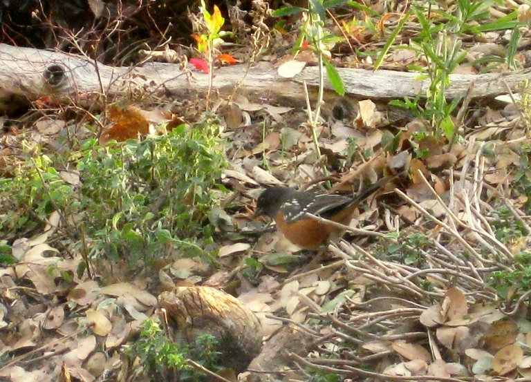 Spotted Towhee digs for grubs. Good!