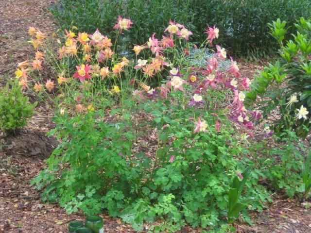 2011 Summer- Rain garden columbine