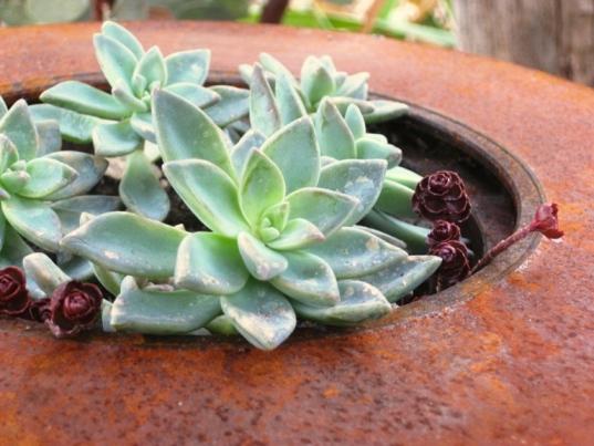 Ghost plant and sedum