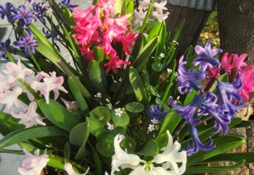 Hyacinth surprise