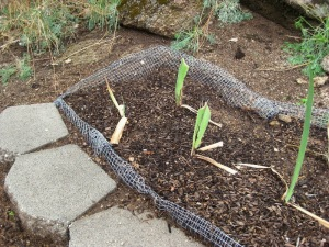 Newly planted iris bed shows the rolled edges