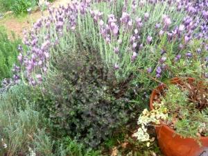 Euphorbia dulcis 'Chameleon'  with Spanish lavender