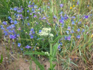 Feathery White yarrow with clear blue Penstemon 'Margarita BOP'