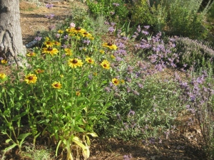 Blue Cleveland sage with yellow-gold Black-eyed Susans