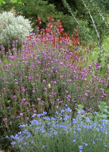 True Blue flax, with purple Wallflower 'Bowles Mauve'plus burgundy Red-Tipped Photinia