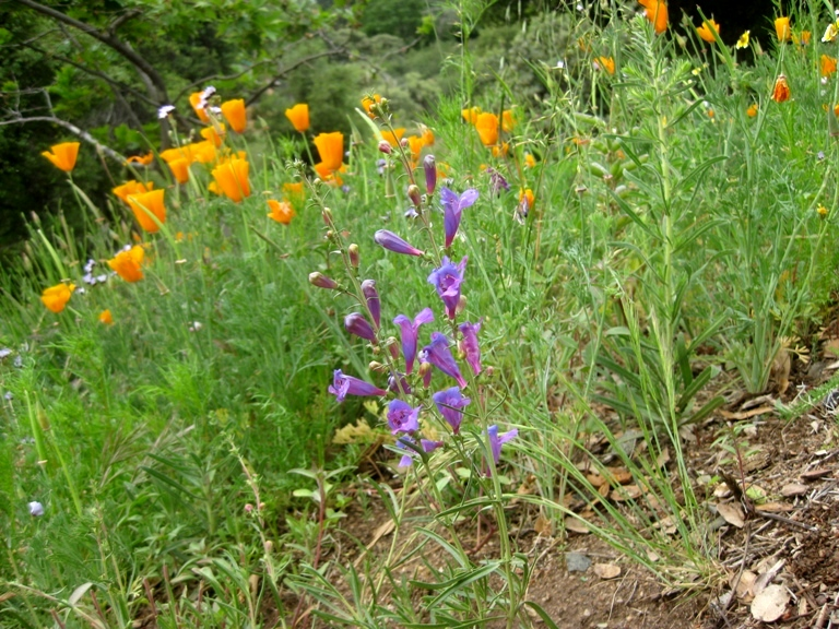 Orange California poppy with Penstemon 'Margarita BOP'
