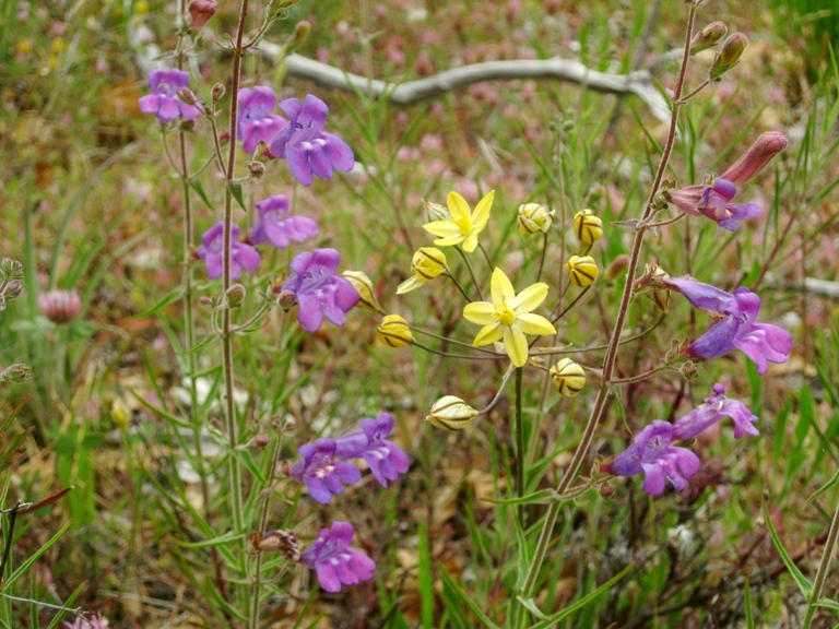 Irridescent blue-purple Foothill penstemon with soft yellow Pretty Face, Triteleia ixioides