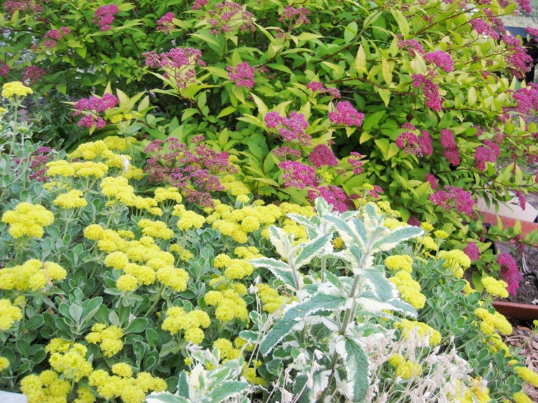 Sulfur flower, Eriogonum umbellatum with Spirea japonica 'Gold mound', Snow in Summer