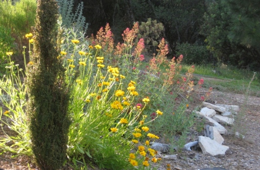 Chrome yellow coreopsis with glowing rose colored Jupiter's beard