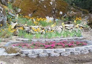 Poppies bloom brightly behind the protected Iris bed