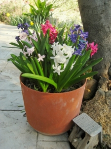 Pot of Hyacinth bulbs