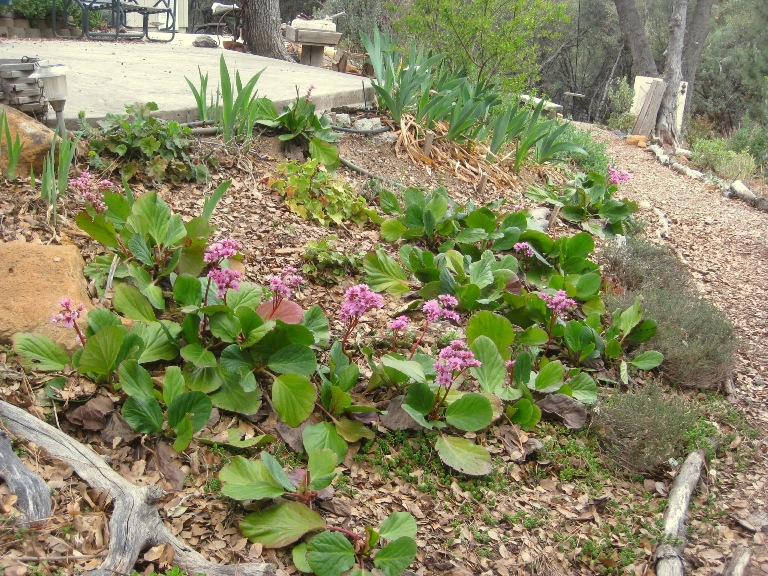 Bergenia in bloom
