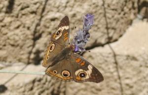 Buckeye on lavender