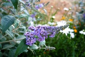 Buddleia davidii  Butterfly Bush