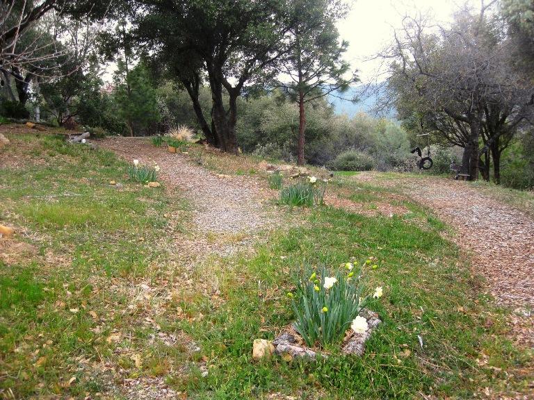 Narcissus 'Obdam' dresses up the path