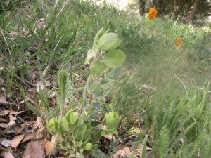 Manzanita seedling
