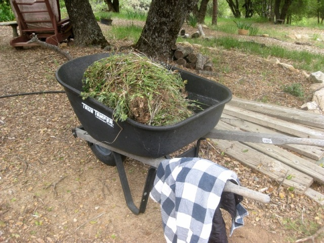 Wheelbarrow of weeds. These will be put in trash bags and taken OFF the property.