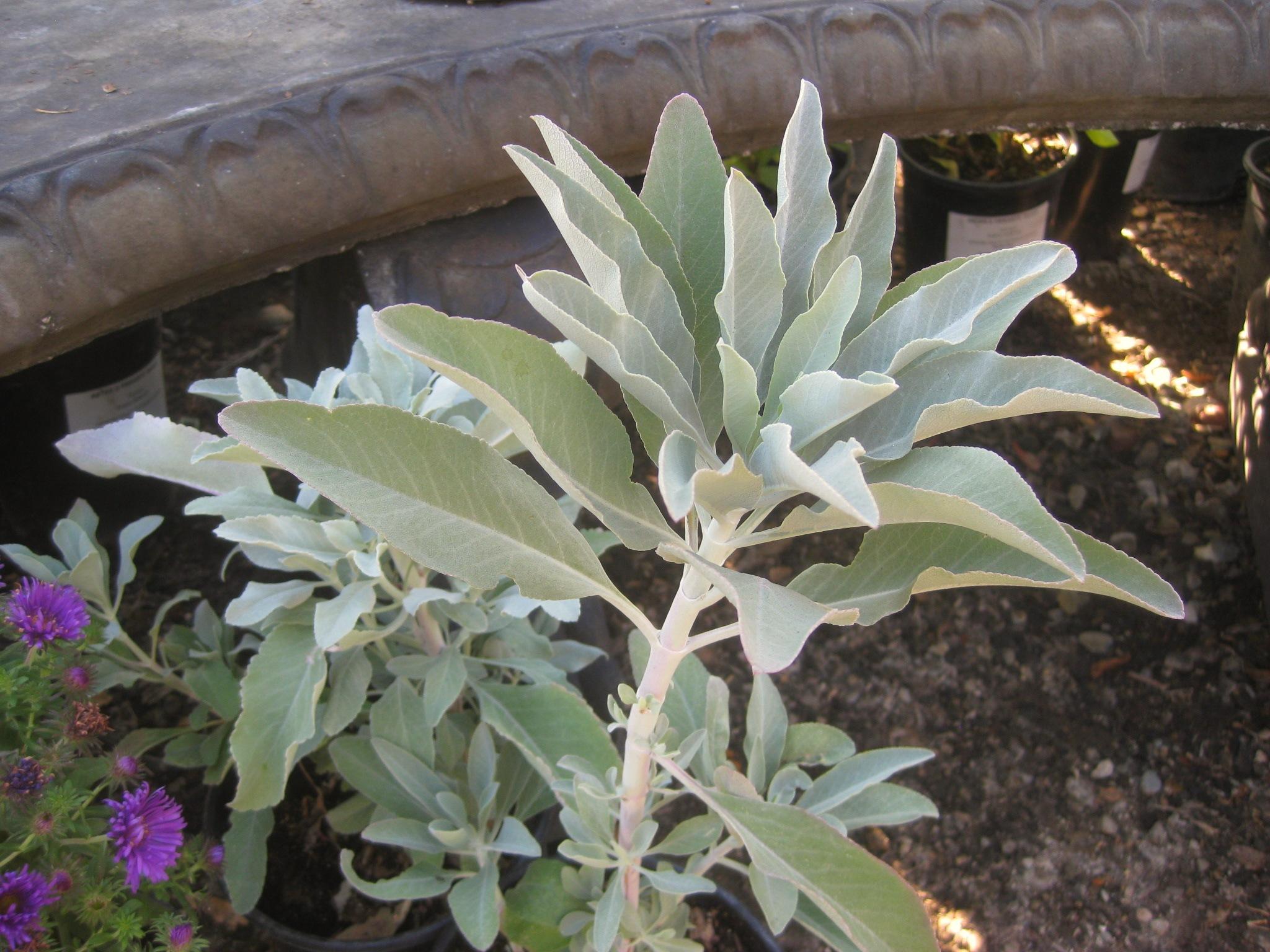 Spicy Mints In The Foothill Garden Sierra Foothill Garden