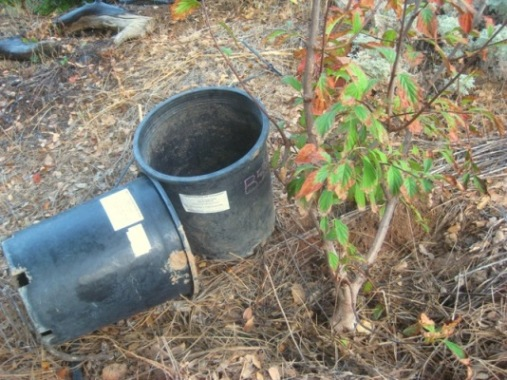 This viburnum was $5. in a 5 gallon can.  Who knows why it turned brown, but it was in the nursery a long time and needed to be put in the ground to grow!
