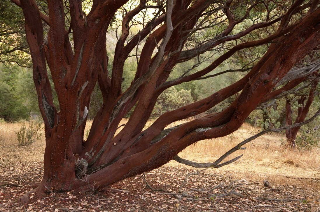 Musclular shaped branches of the stately manzanita