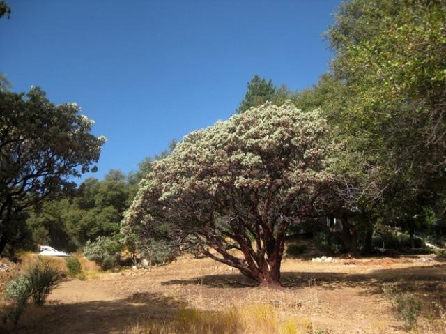 Sticky Whiteleaf Manzanita as a dramatic accent tree