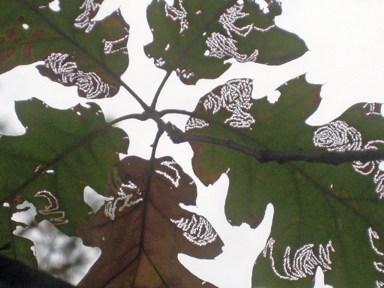 Leaf miners eat leaves in a pattern, never seemingly to cross its own path